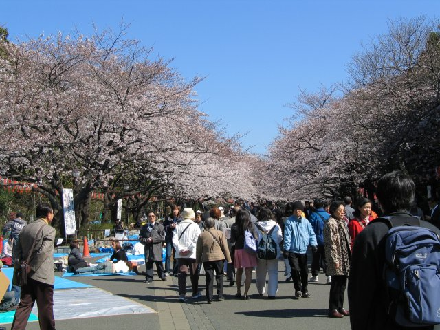 Ueno Park during the cherry blossom season